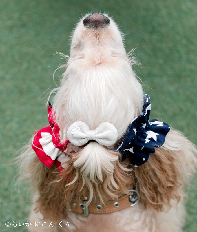 愛犬の耳を彩るイヤーシュシュ アメリカンシリーズ 真上から