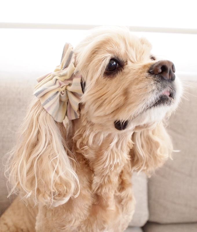 愛犬の耳を彩るイヤーシュシュ キャンディーストライプシリーズ(ぶどう) だいもん部長 右