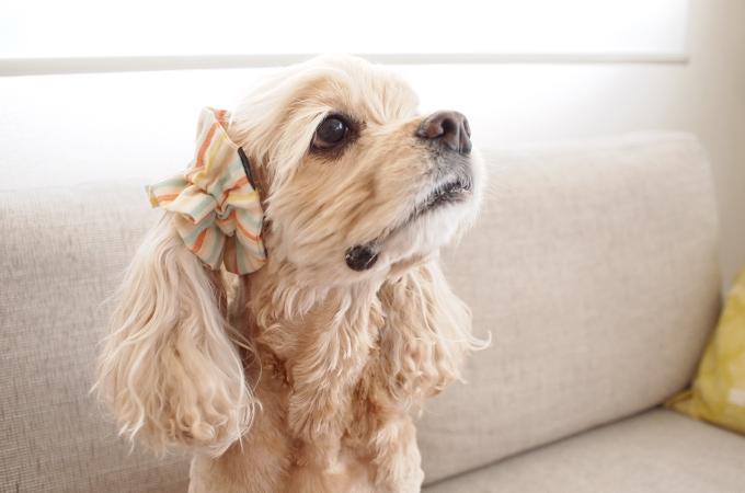 愛犬の耳を彩るイヤーシュシュ キャンディーストライプシリーズ(みかん)