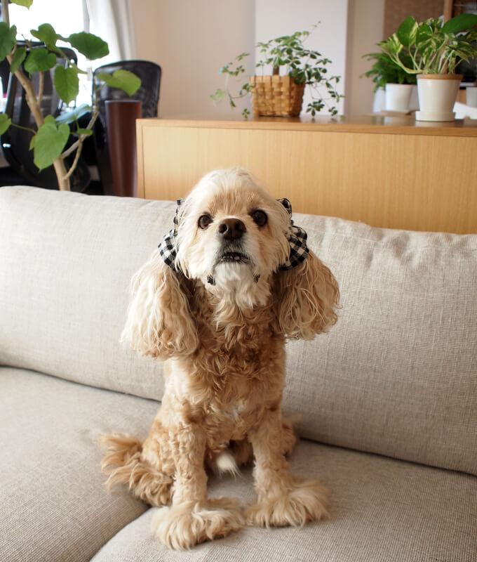 イヤーシュシュ 犬 クラシカルタータンシリーズ(ホワイトブラック) だいもん部長 全身 正面