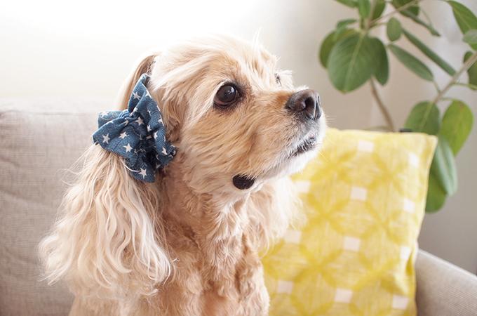 愛犬の耳を彩るイヤーシュシュ デニムスターシリーズ(ライトブルー) だいもん部長 横 右