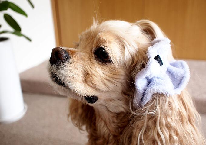 愛犬の耳を彩るイヤーシュシュ フラッフィーシリーズ(ラベンダー)