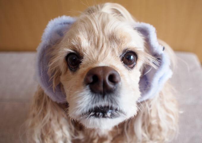 イヤーシュシュ 犬 フラッフィーシリーズ(ラベンダー) だいもん部長 真正面アップ