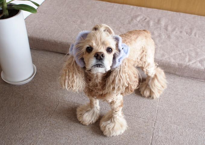 イヤーシュシュ 犬 フラッフィーシリーズ(ラベンダー) だいもん部長 全身斜め上から
