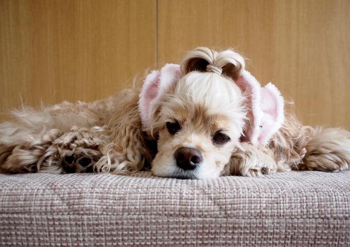イヤーシュシュ 犬 フラッフィーシリーズ(ピンク) だいもん部長 伏せ 正面