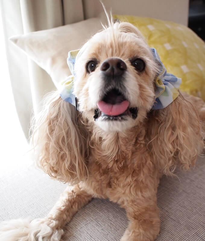 愛犬の耳を彩るイヤーシュシュ フラワーシャワーシリーズ(水色)
