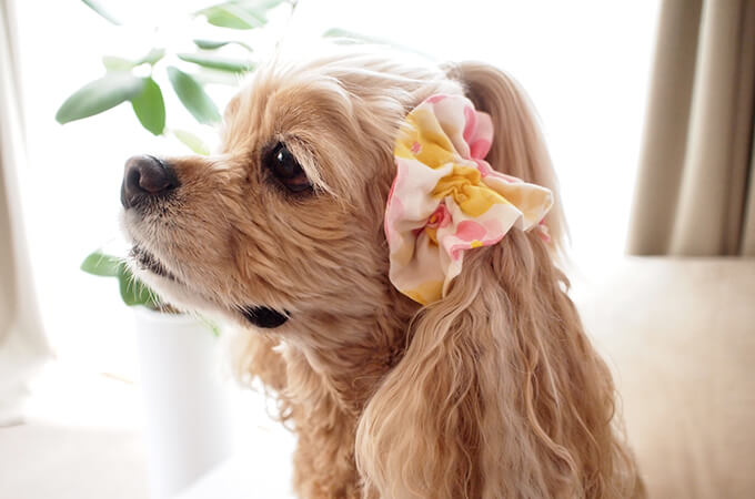 愛犬の耳を彩るイヤーシュシュ フラワーシャワーシリーズ(ピンク)