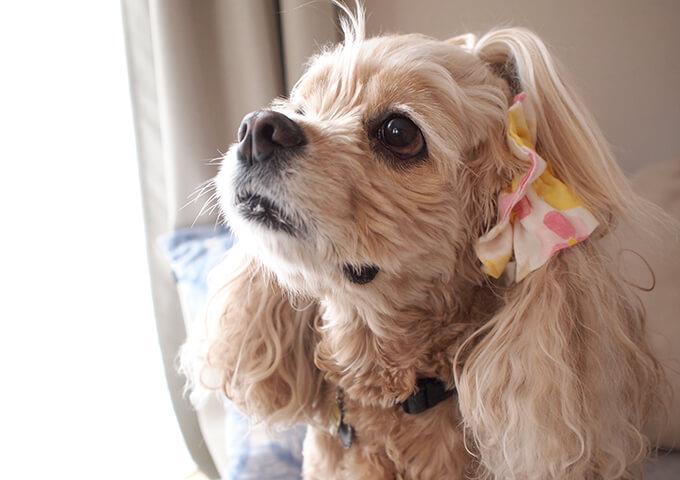 イヤーシュシュ 犬 フラワーシャワーシリーズ(ピンク) だいもん部長 全身ふせ 右から