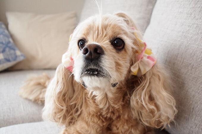 イヤーシュシュ 犬 フラワーシャワーシリーズ(ピンク) だいもん部長 正面から