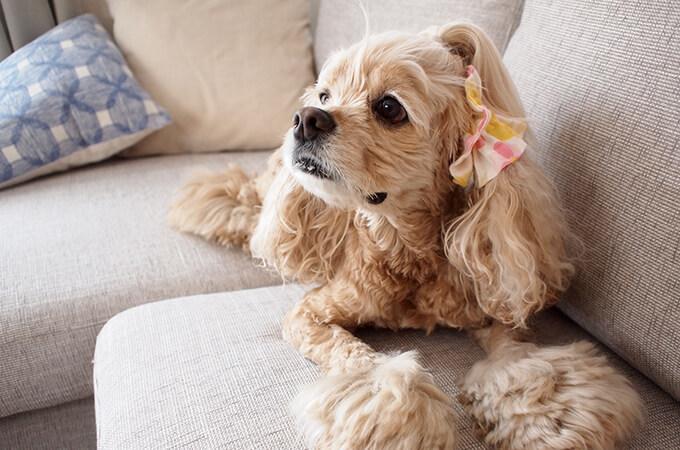 イヤーシュシュ 犬 フラワーシャワーシリーズ(ピンク) 全身 斜め上から