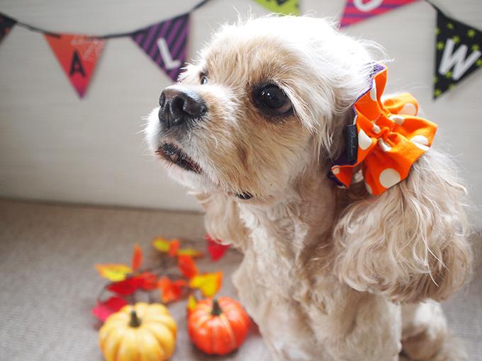 愛犬の耳を彩るイヤーシュシュ ハロウィン キャンディ イメージ