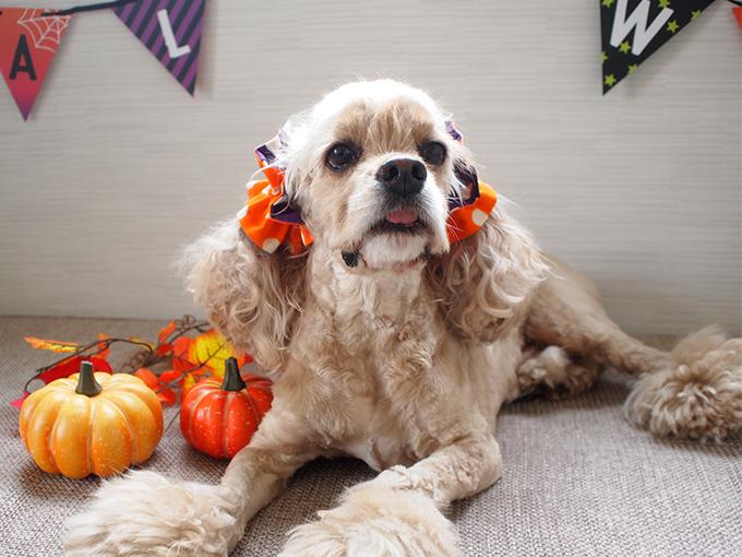 愛犬の耳を彩るイヤーシュシュ ハロウィンシリーズ