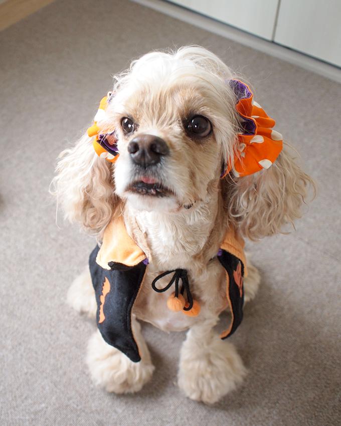愛犬の耳を彩るイヤーシュシュ ハロウィン