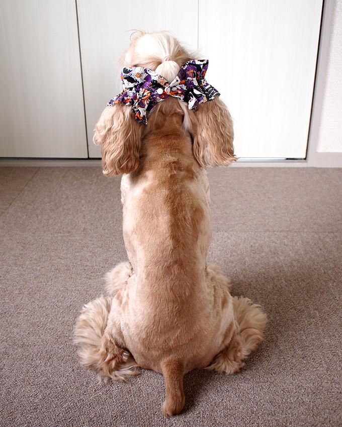 愛犬の耳を彩るイヤーシュシュ ハロウィン 後ろ2