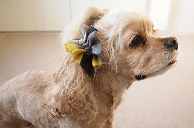 愛犬の耳を彩るイヤーシュシュ クリスマス限定 キカガク イエロー×ブラック