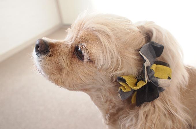 愛犬の耳を彩るイヤーシュシュ キカガク イエロー×ブラック だいもん 笑顔
