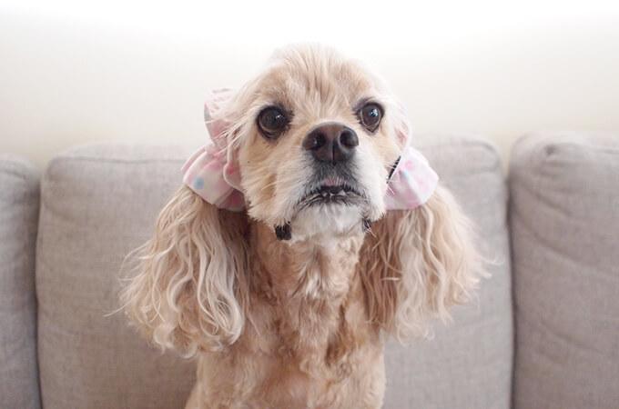 イヤーシュシュ 犬 水玉シリーズ(ピンク) だいもん部長 正面