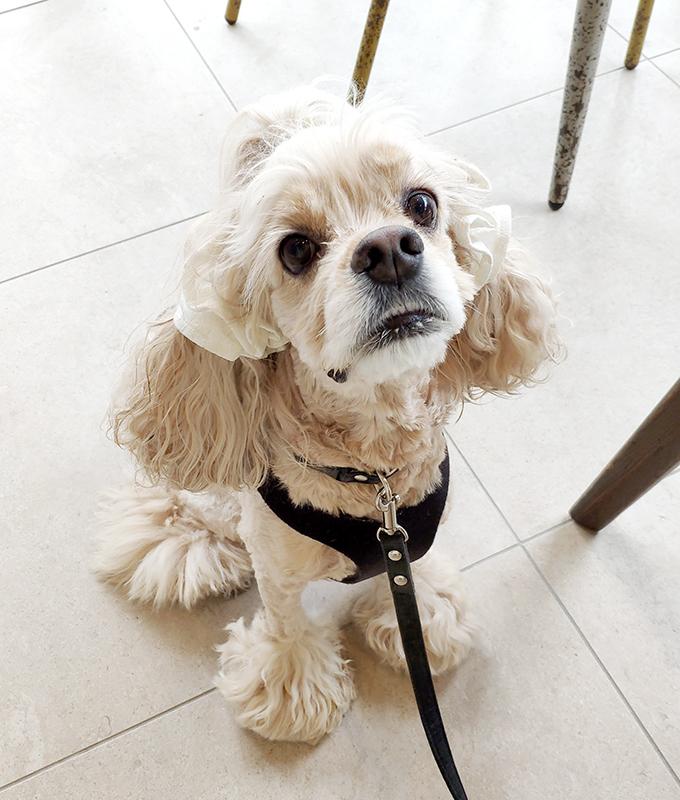 愛犬の耳を彩るイヤーシュシュ レースシリーズ(マシュマロホワイト)