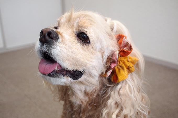 愛犬の耳を彩るイヤーシュシュ 和レトロシリーズ(オレンジ)