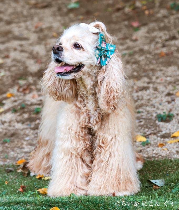 愛犬の耳を彩るイヤーシュシュ ロココシリーズ