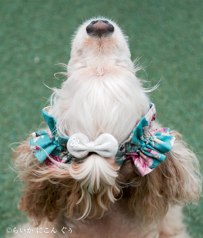 愛犬の耳を彩るイヤーシュシュ ロココシリーズ 上から