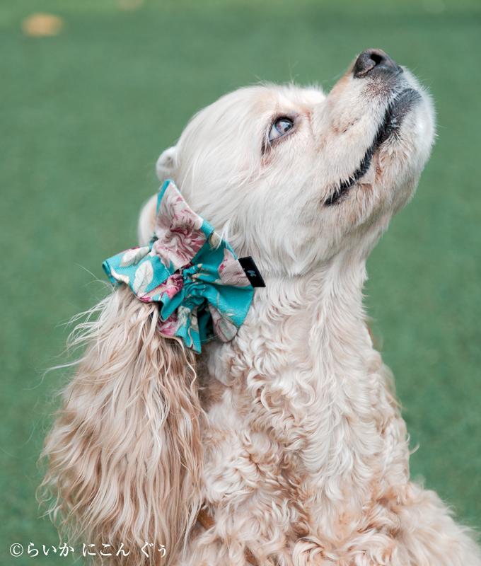 愛犬の耳を彩るイヤーシュシュ ロココシリーズ 横から