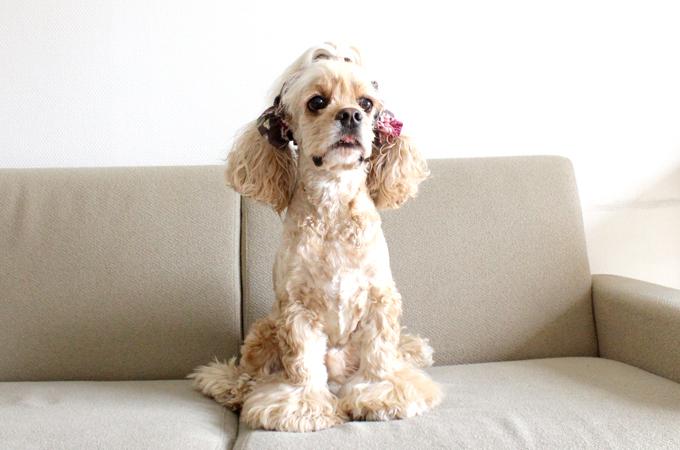 愛犬の耳を彩るイヤーシュシュ ロココシリーズ だいもん 全身