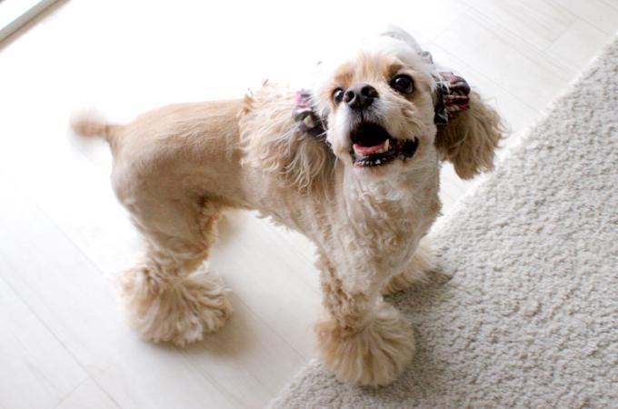 愛犬の耳を彩るイヤーシュシュ ロココシリーズ だいもん 笑顔