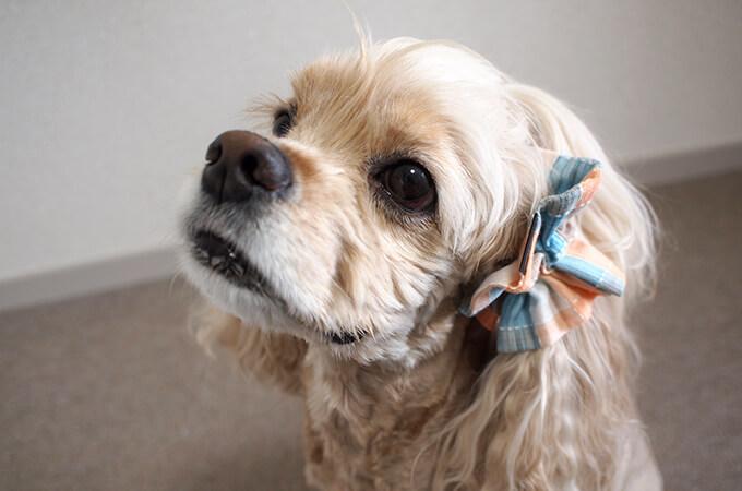 愛犬の耳を彩るイヤーシュシュ  サマーチェック 夕暮れオレンジ だいもん ななめ横 左側