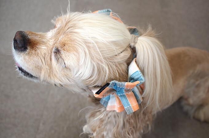 愛犬の耳を彩るイヤーシュシュ  サマーチェック 夕暮れオレンジ だいもん 斜め上から 左側