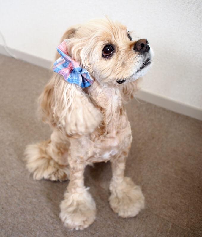 愛犬の耳を彩るイヤーシュシュ  サマーチェック 朝焼けピンク
