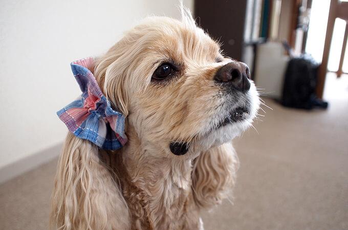 愛犬の耳を彩るイヤーシュシュ  サマーチェック 朝焼けピンク だいもん ななめ横 右側