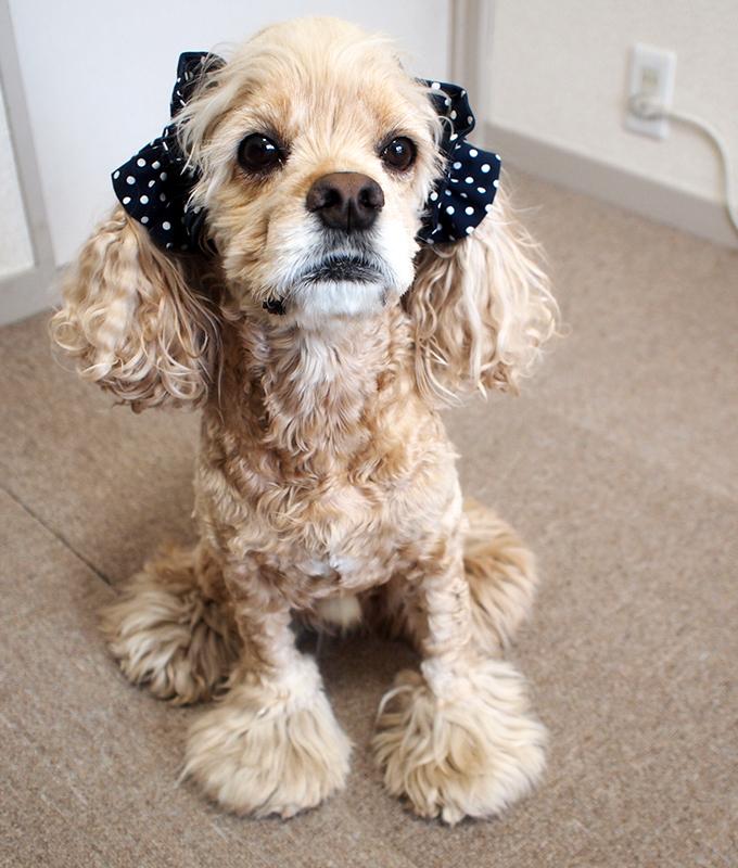 愛犬の耳を彩るイヤーシュシュ  ツイルドット ネイビー だいもん 全身 正面