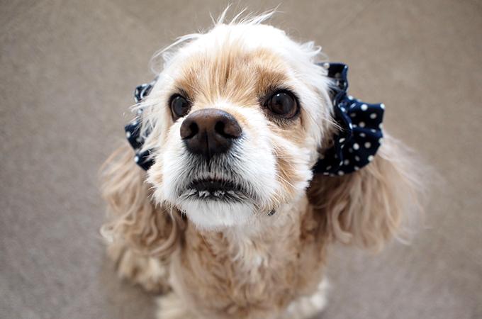愛犬の耳を彩るイヤーシュシュ  ツイルドット ネイビー だいもん 正面 上から