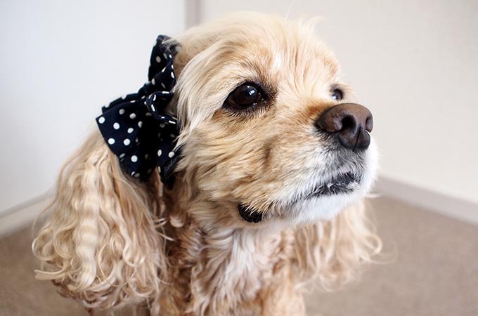 愛犬の耳を彩るイヤーシュシュ  ツイルドット ネイビー だいもん 斜め 右側