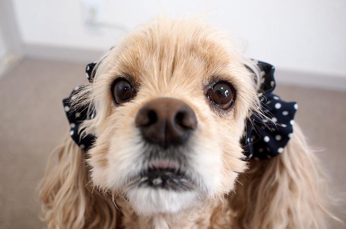 愛犬の耳を彩るイヤーシュシュ  ツイルドット ネイビー だいもん 正面