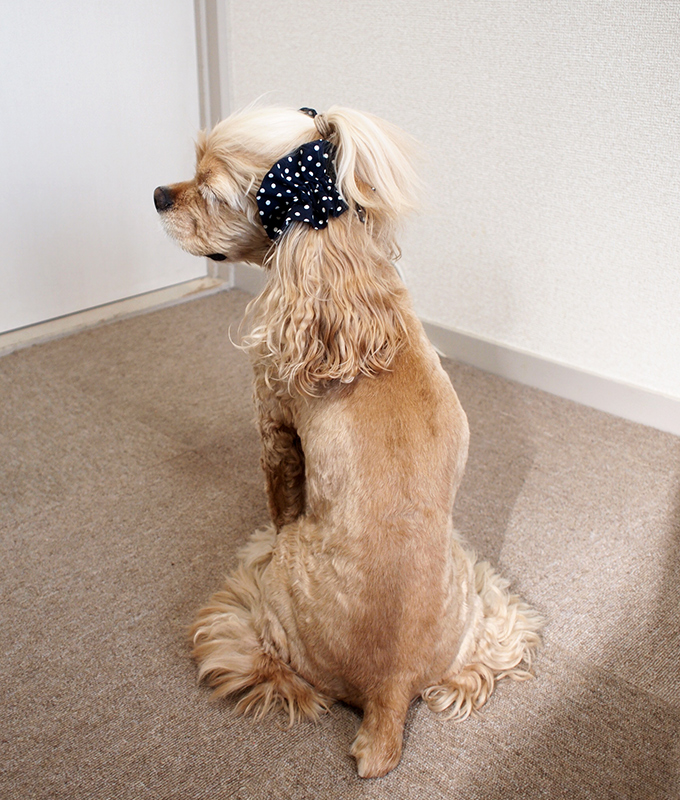 愛犬の耳を彩るイヤーシュシュ  ツイルドット ネイビー だいもん 全身 振り返り