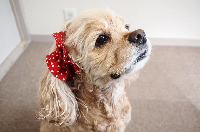 愛犬の耳を彩るイヤーシュシュ  ツイルドット レッド