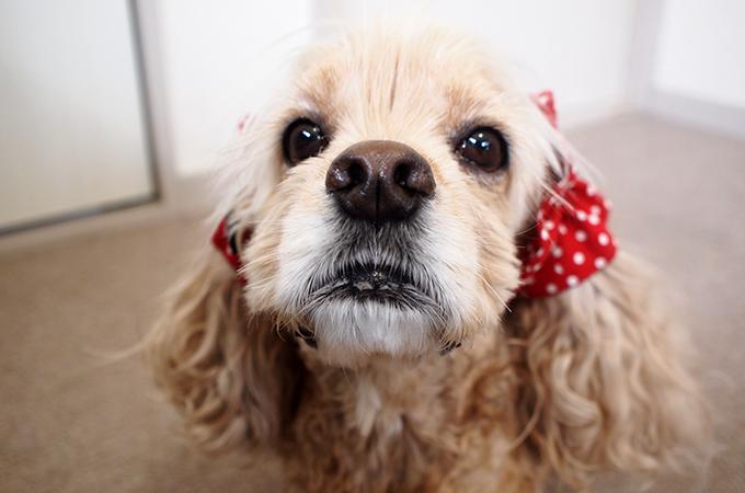愛犬の耳を彩るイヤーシュシュ  ツイルドット レッド だいもん 正面 アップ