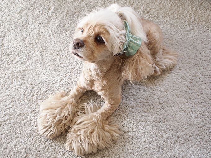 愛犬の耳を彩るイヤーシュシュ 春うららシリーズ みんと だいもん 斜め上から