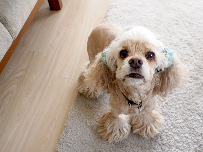 愛犬の耳を彩るイヤーシュシュ 春うららシリーズ みんと だいもん 正面から