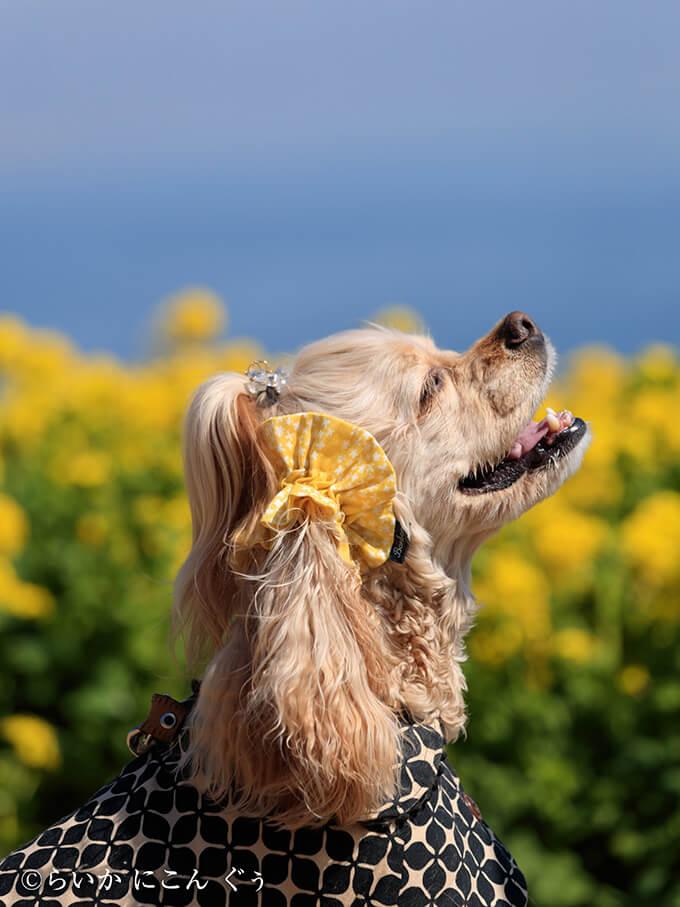 愛犬の耳を彩るイヤーシュシュ 春うららシリーズ きいろ