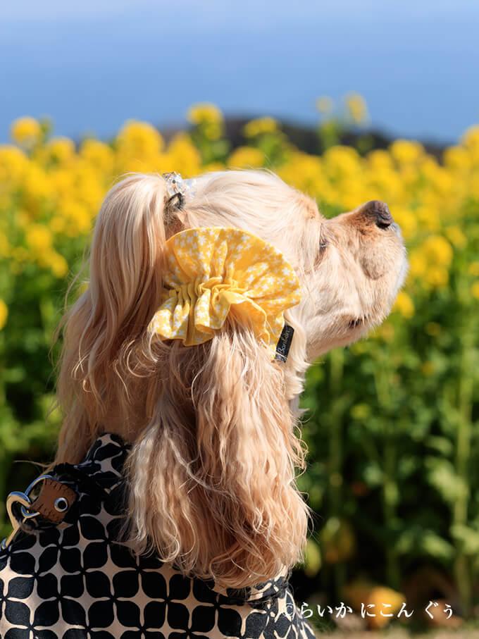 愛犬の耳を彩るイヤーシュシュ 春うららシリーズ きいろ らいかくん アップ 後ろから