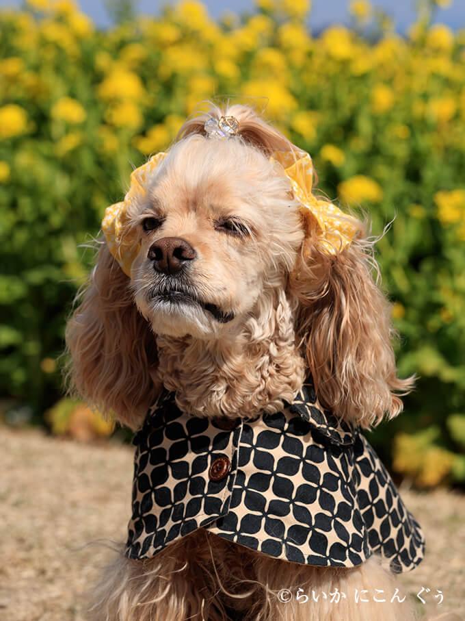 愛犬の耳を彩るイヤーシュシュ 春うららシリーズ きいろ らいかくん 斜め前から