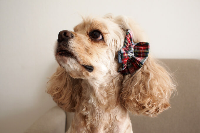 愛犬の耳を彩るイヤーシュシュ クリスマス限定 クラシカルタータン ホワイトクリスマス だいもん 斜め下から