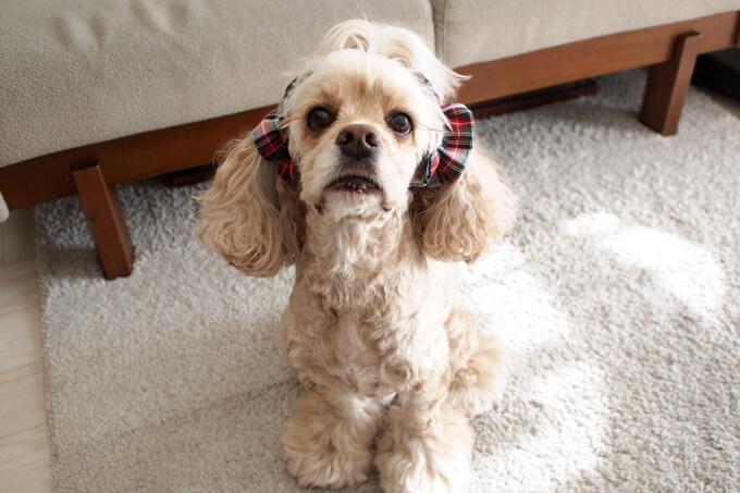 愛犬の耳を彩るイヤーシュシュ クリスマス限定 クラシカルタータン ホワイトクリスマス だいもん 斜め上から