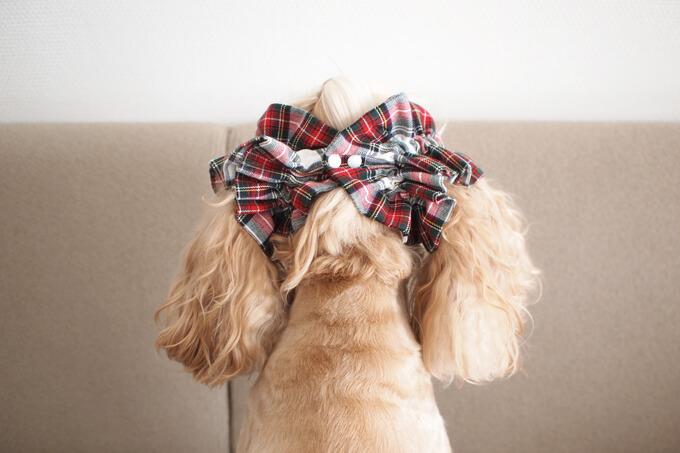 愛犬の耳を彩るイヤーシュシュ クリスマス限定 クラシカルタータン ホワイトクリスマス だいもん 後ろから
