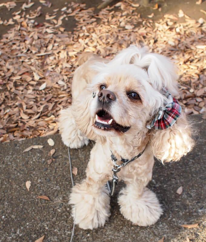 愛犬の耳を彩るイヤーシュシュ クリスマス限定 クラシカルタータン ホワイトクリスマス だいもん 笑顔