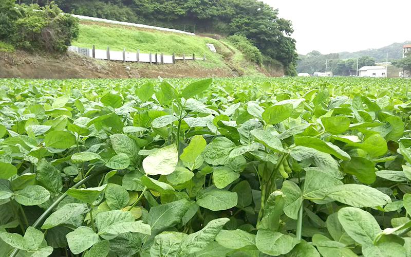 三浦の枝豆[茶豆]